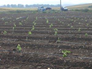 Campo-piantato