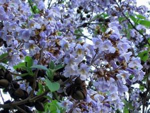 paulonia - fiori .jpg